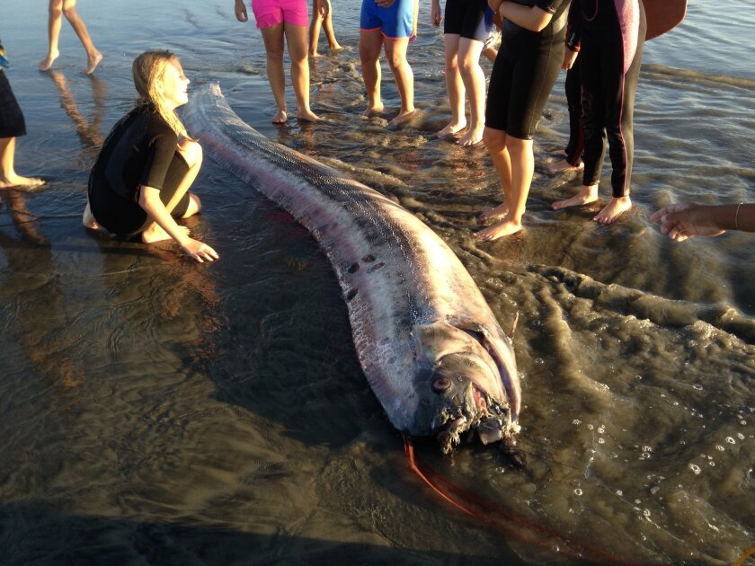 This oarfish was found washed ashore near the south jetty in Oceanside around 5 p.m. Friday. An 18-foot-long oarfish was found near Catalina earlier in the week.