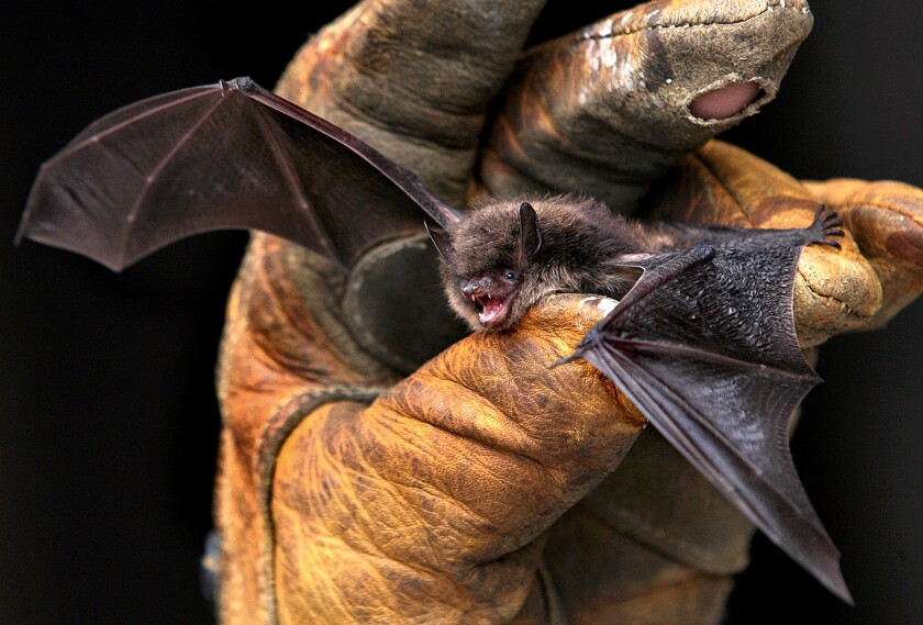 Nearly 40 rabid bats have been found across Los Angeles County in the last year, health officials said.