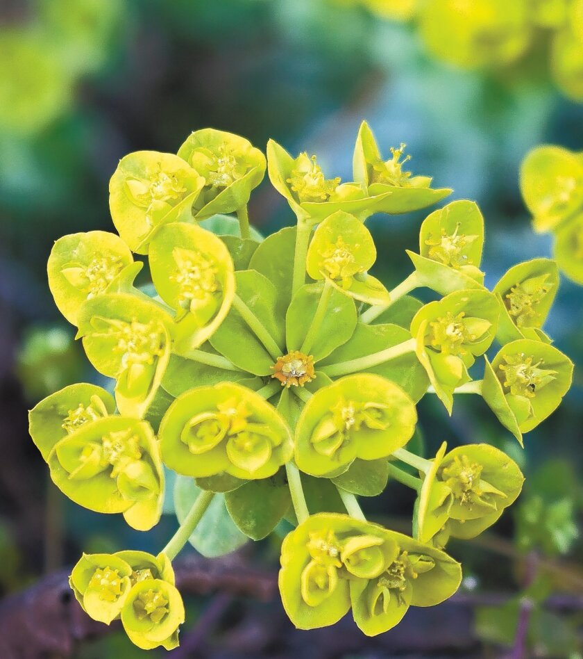 This water-wise Euphorbia myrsinites has bright chartreuse flowers.