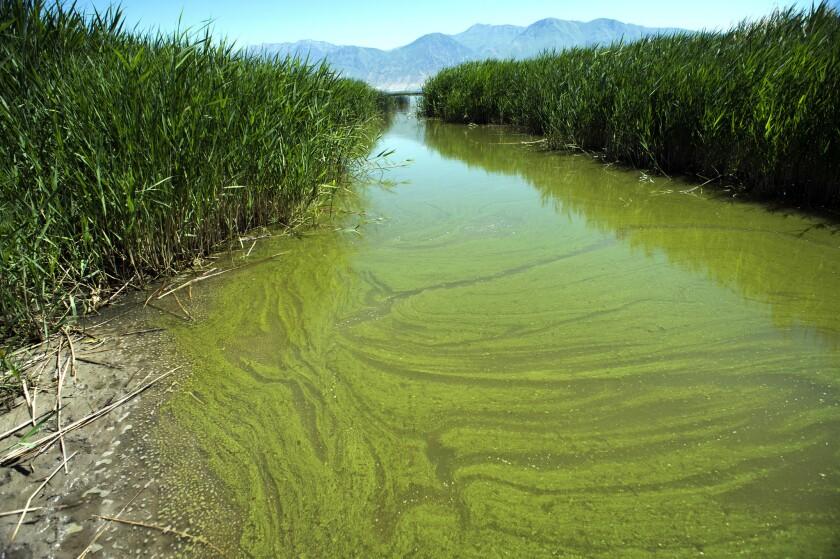 A potentially toxic blue-green algae bloom in Provo Bay in Provo, Utah.