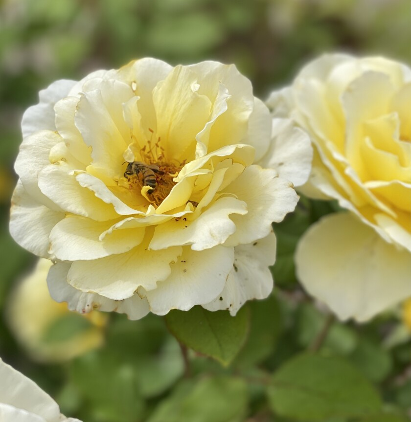 A bee forages in a rose in La Jolla.