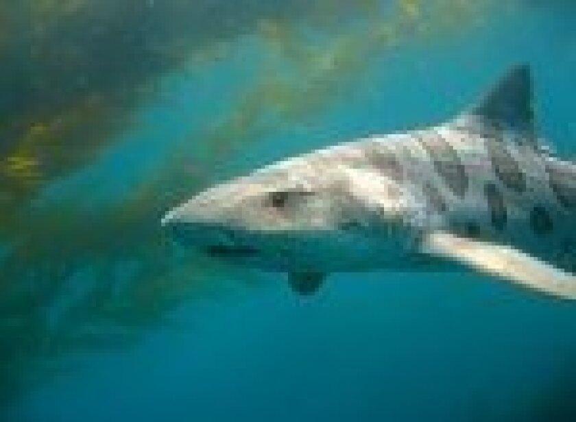best-bets-shark-at-Birch-150x110