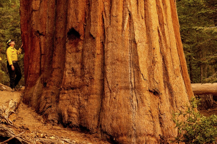 A man places his hand on the giant trunk of a sequoia