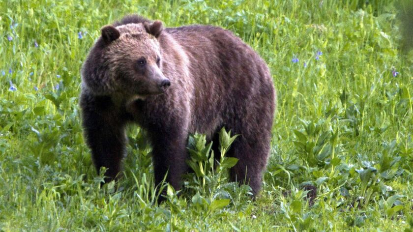FILE - This July 6, 2011, file photo shows a grizzly bear roaming near Beaver Lake in Yellowstone Na