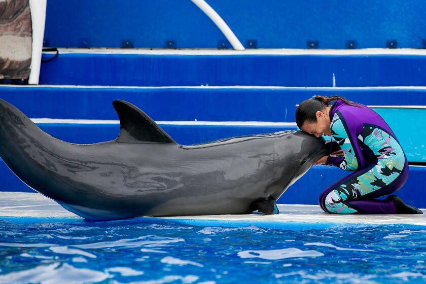 A trainer performs with a dolphin at SeaWorld.