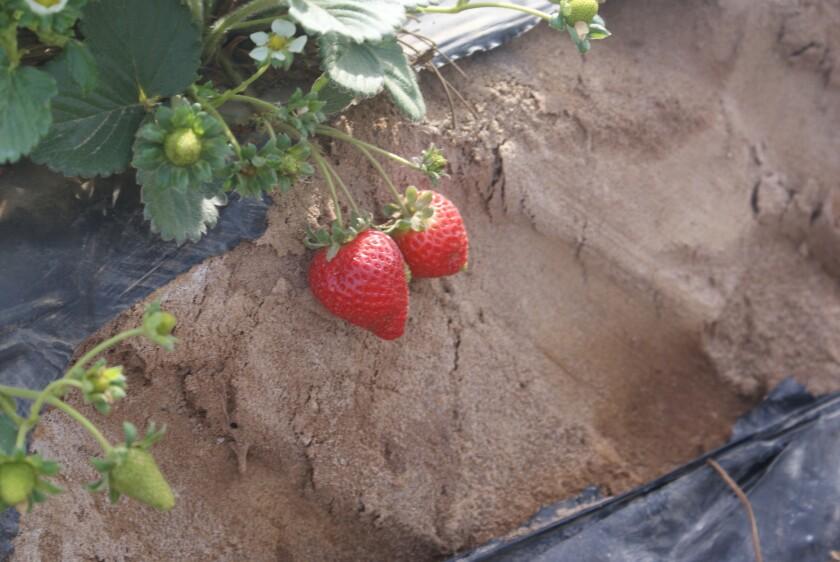 Los agricultores de fresas se mantienen ocupados entre febrero y noviembre, fuente de empleo en la que inmigrantes mexicanos se encargan de la pisca.