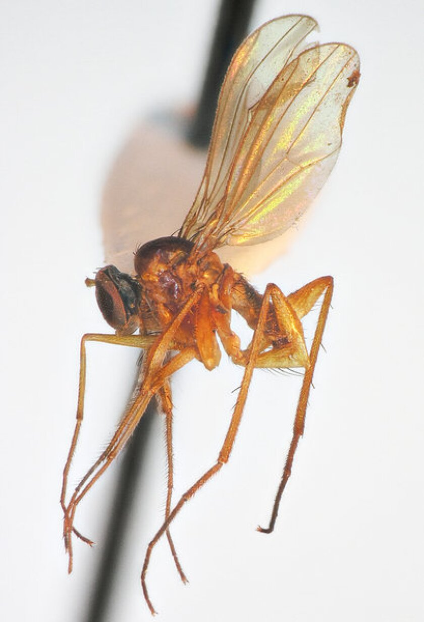 Six new fly species, called Popeye flies for their enlarged middle legs, were discovered recently in the islands of Tahiti.