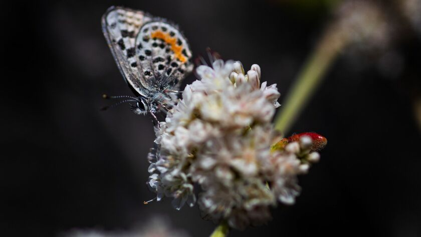REDONDO BEACH, CA - JULY 14, 2018: An endangered El Segundo blue butterfly pollinates a sea-cliff b