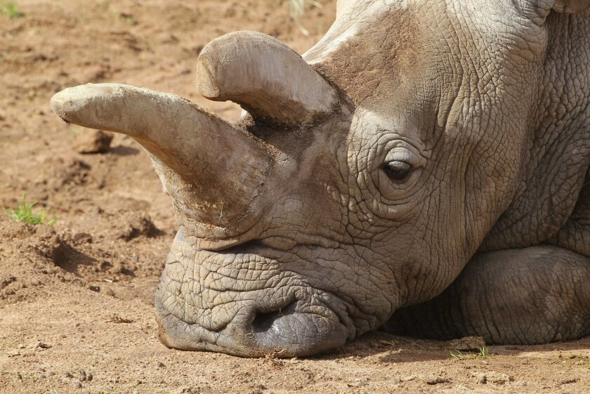 Nola, the only surviving northern white rhinoceros at the San Diego Zoo Safari Park, rests at the facility on Dec. 18, 2014. / photo by Charlie Neuman * U-T San Diego