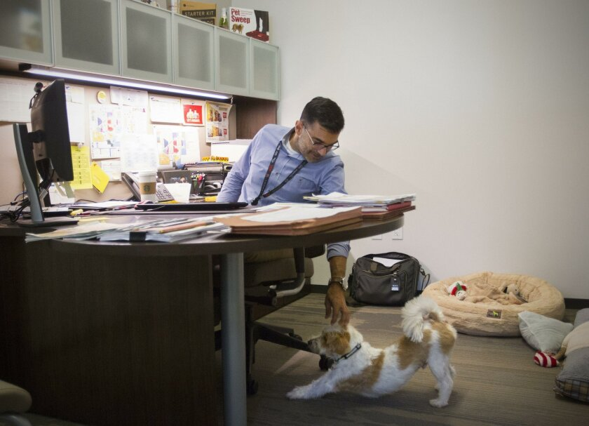 """Vito Spano, vice-president of merchandising at Petco, pets """"Winston,"""" his terrier mix, who spends the day with him as he works in his office at the newly opened 300,000 square-foot corporate headquarters in Rancho Bernardo. The facility features pet-friendly work spaces, recreation centers, an open"""