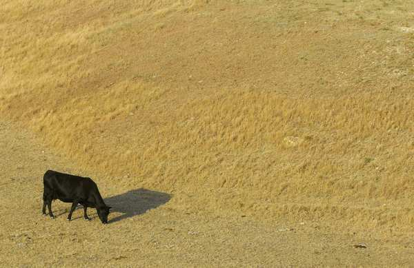A cow grazes in a dry pasture southwest of Hays, Kan.