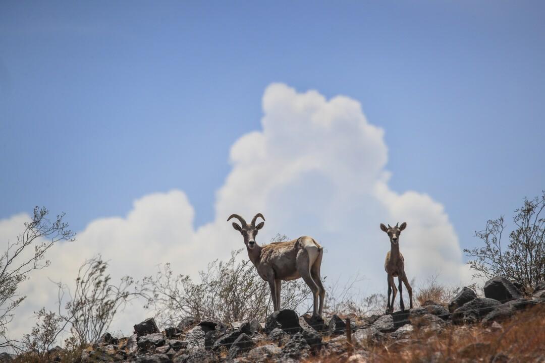 Desert bighorn sheep stand near Lake Mead.