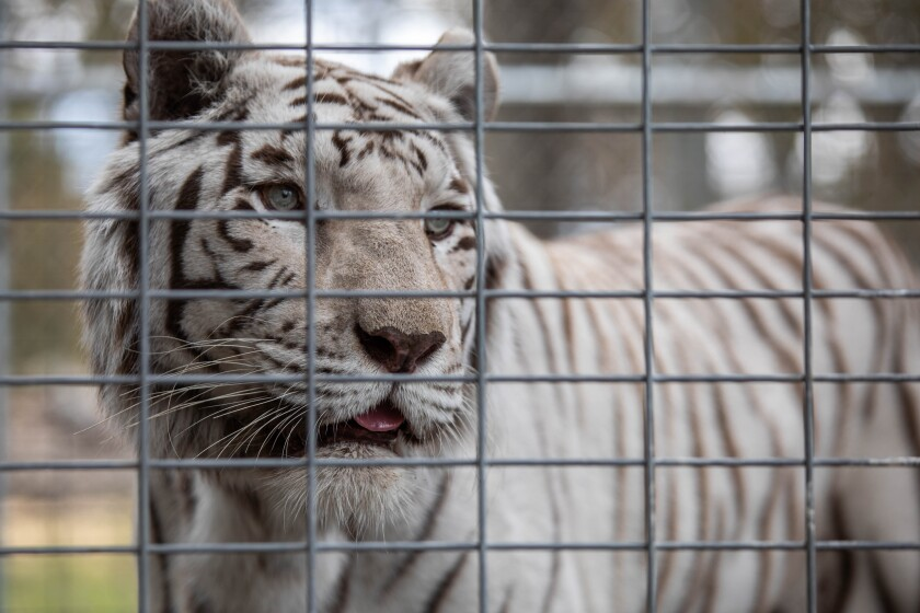 A white tiger at Lions Tigers & Bears, an animal sanctuary in Alpine.