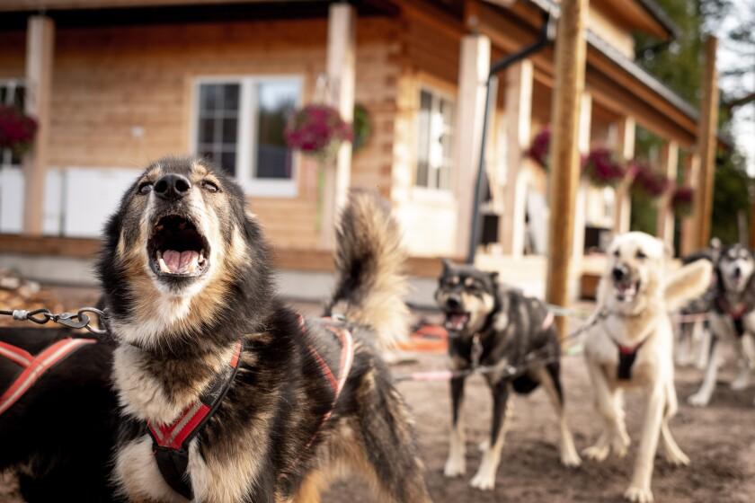 Alaskan huskies eager for off-season training at Bearhill Husky Tours.