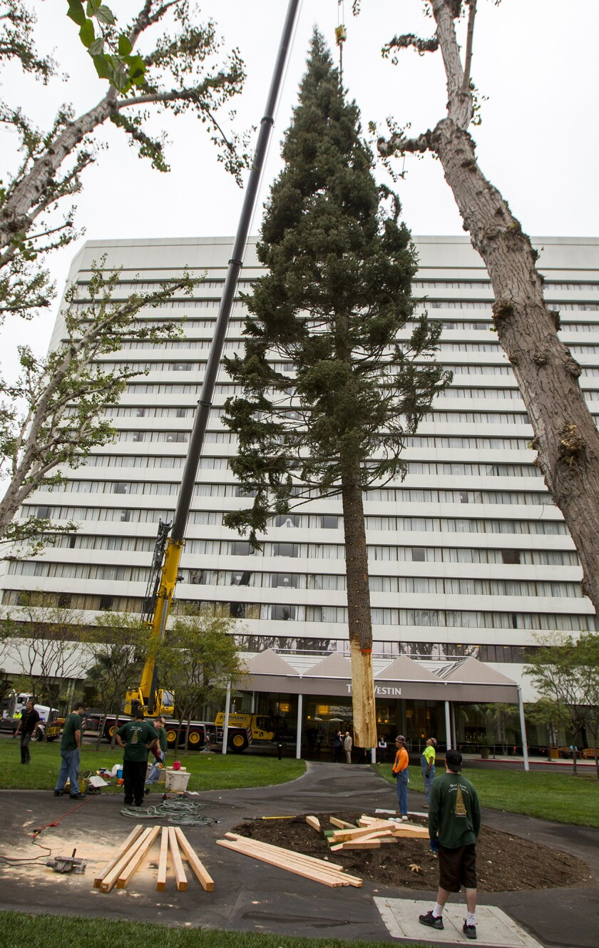 The South Coast Plaza tree is lowered into place near the Westin Hotel on Tuesday.