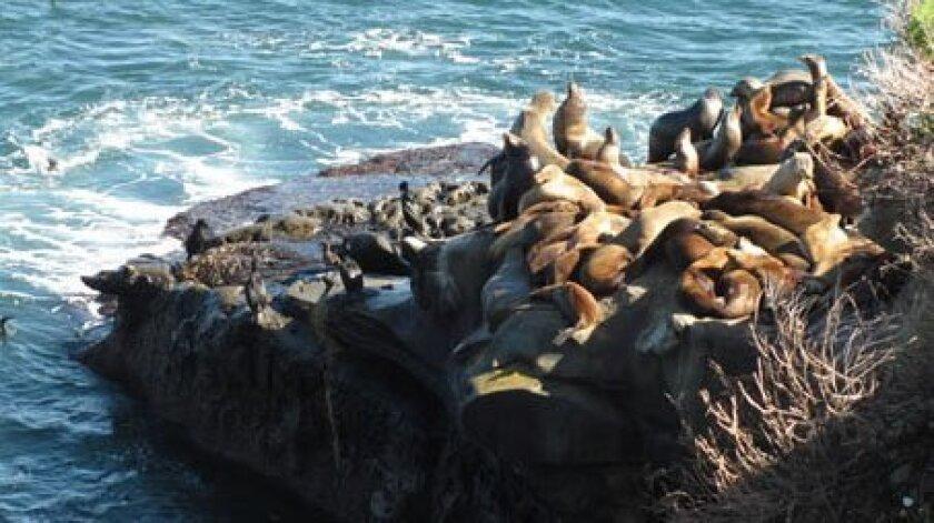 sea-lions-11-7-131