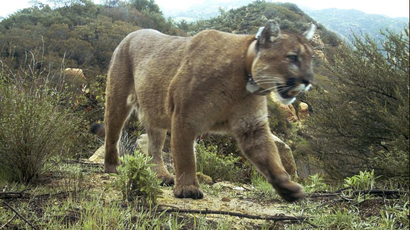 Mountain lion P-47, seen in the Santa Monica Mountains National Recreation Area in February, was found dead on March 21. A necropsy revealed poisoning.