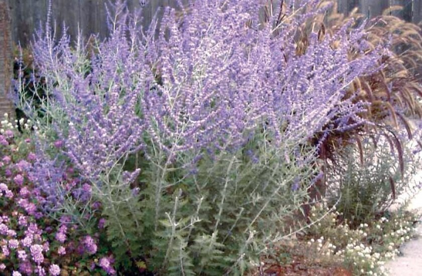 Russian sage has clouds of tiny lavender flowers on tall, angular stems.