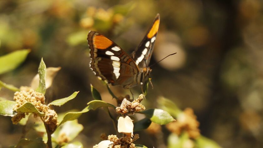 FRAZIER PARK, CA – JULY 26, 2018: Butterfly area among many species found in the mixed conifer for