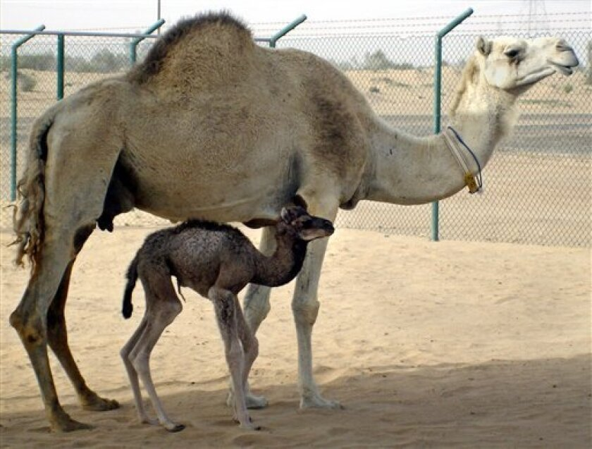 This undated picture made available Tuesday, April 14, 2009, by Dubai's Camel Reproduction Center, shows the first cloned camel, called Achievement or Injaz in Arabic, who was born on April 8 after an uncomplicated gestation of 378 days, the Camel Reproduction Center said in a press release on Tues