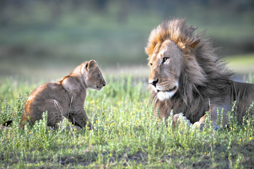 A male lion with his 4-month-old cub at Big Marsh in Serengeti National Park, Tanzania. The killing of a dominant male sets off struggles that lead to the deaths of more lions, including cubs.
