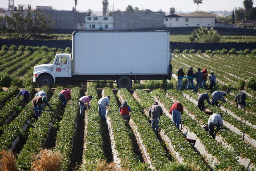 Workers in the strawberry fields of San Quintin.
