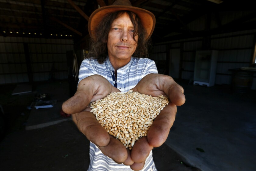 Jon Hammond shows Sonora wheat berries grown in Tehachapi that are part of the Tehachapi Heritage Grain Project.