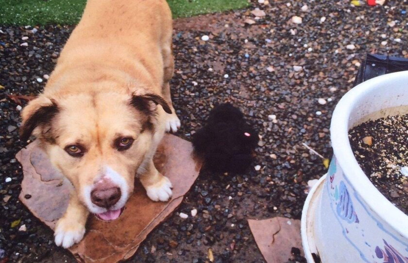 A San Diego police officer fatally shot a family's dog, Grizzly, while trying to interview a possible witness to a crime in City Heights in late February.