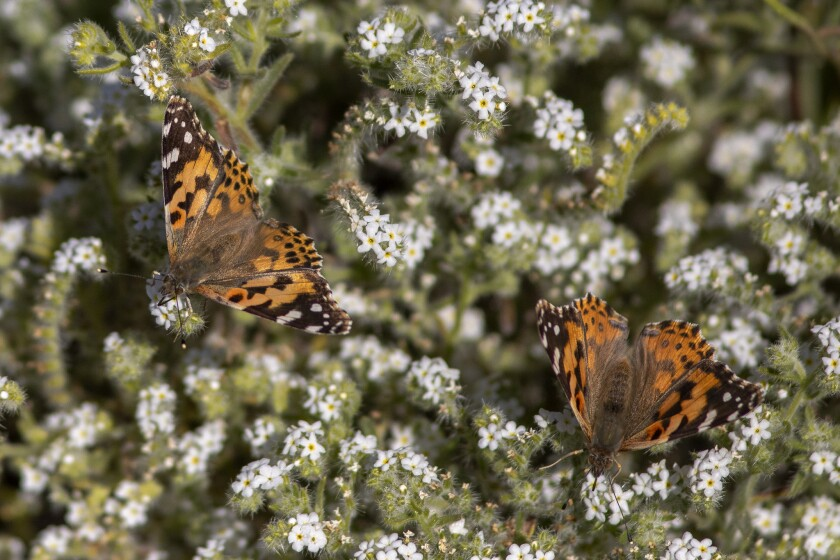 "Wet Winter Weather Brings Butterfly ""Explosion"" Through California's Coachella Valley"