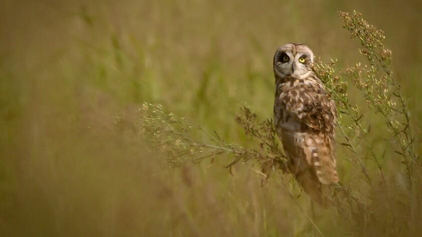 Pueo, a native Hawaiian owl