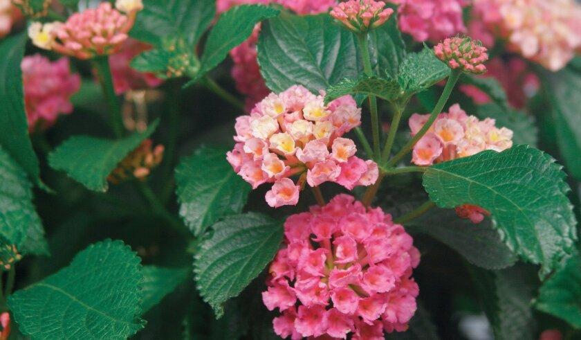 Drought-tolerant shrubs, like this Bandana variety of lantana, can help retard wildfire.