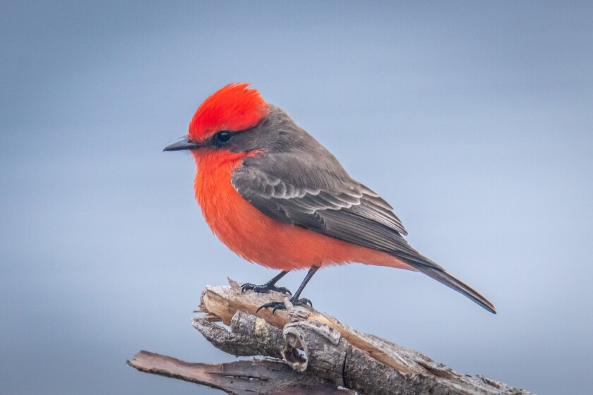 A vermilion flycatcher was a welcoming surprise at Lake Hodges.