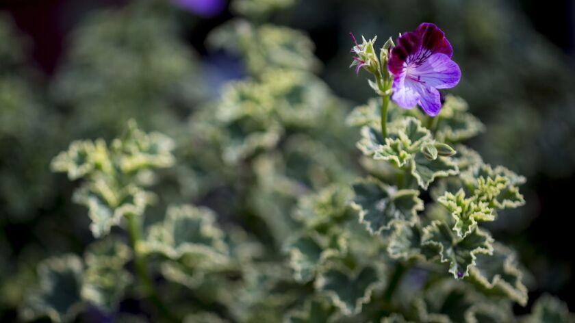 "RIVERSIDE CA - OCTOBER 5, 2016: Pelargonium ""Oldbury Duet"" geraniums are just one of many plants ava"