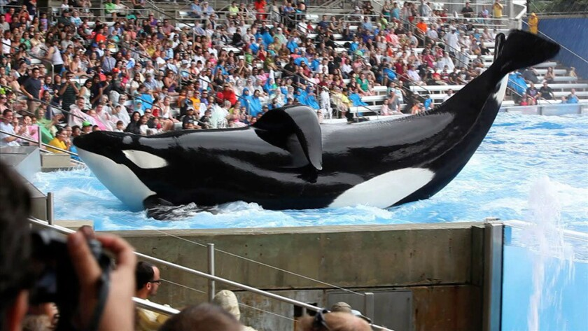 "The documentary ""Blackfish"" raises questions about the treatment of killer whales at SeaWorld."