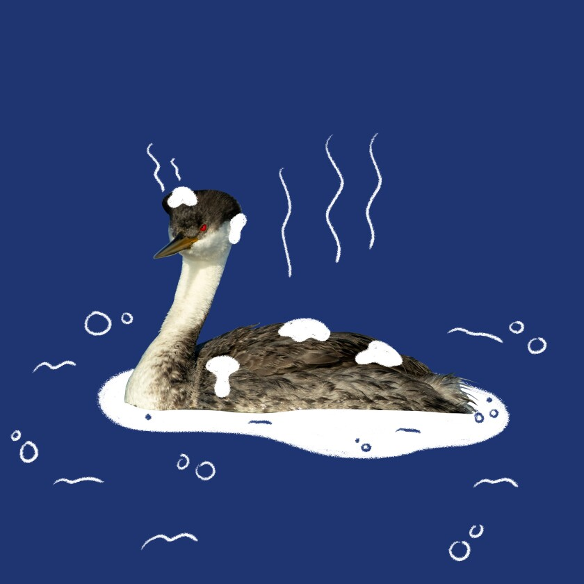 Western grebe, in a photo illustration.