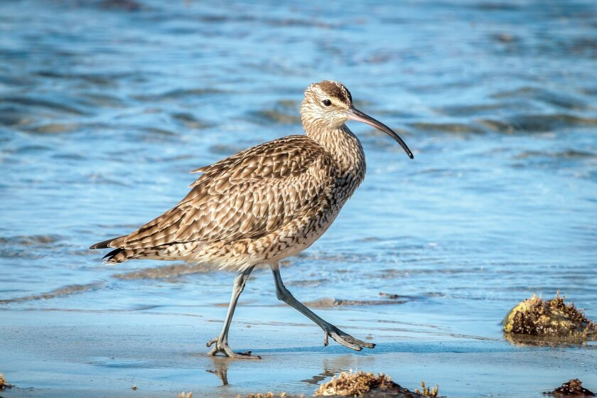 The whimbrel is a winter guest drawn to the San Diego region's beaches, lagoons and marshes.