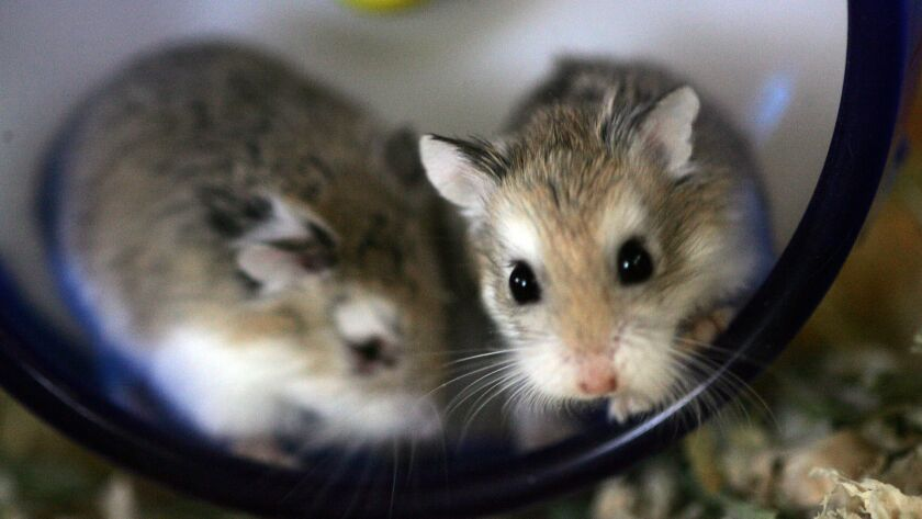 A pair of tiny hamsters in their exercise wheel at a pet shop in San Francisco. A passenger on a Spirit Airlines flight says a crew member told her she couldn't fly with her emotional support hamster and suggested she flush it down the toilet, which she did.
