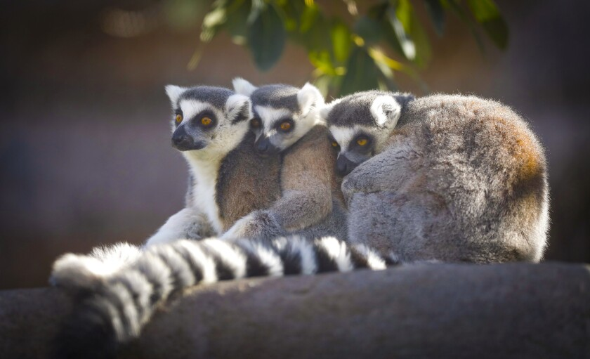 SAN DIEGO, CA 2/8/2019: Three ring-tailed lemur's snuggle together at the San Diego Zoo. Photo by
