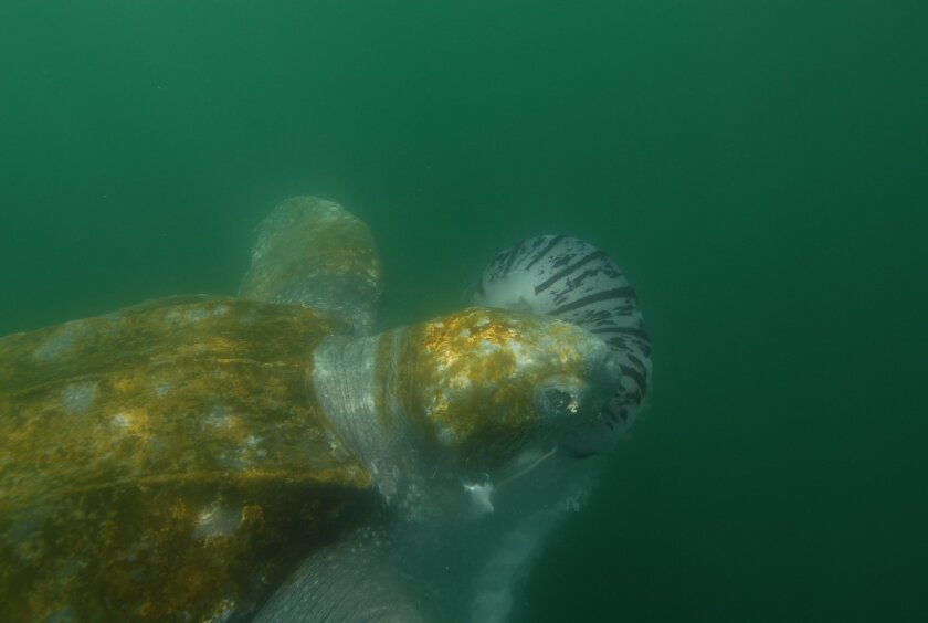 A leatherback sea turtle munches on a jellyfish in the waters off Point Loma.