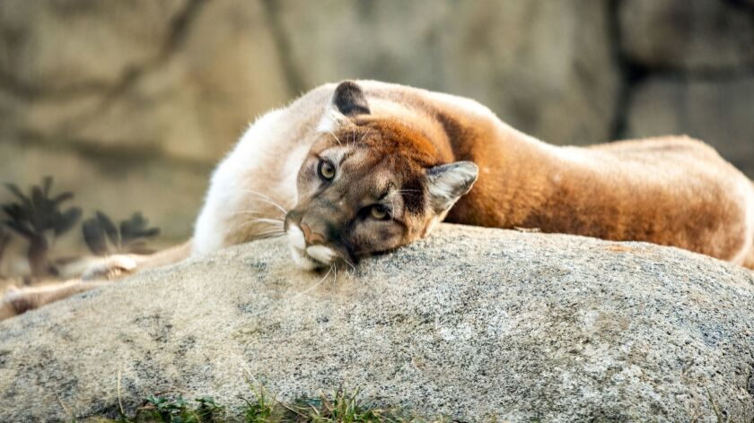 Editorial: Rat poison is killing California's mountain lions. We need to act
