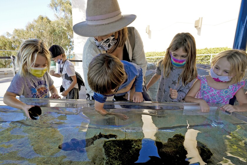At Birch Aquarium at Scripps Institution of Oceanography on Thursday, children reach into shallow tanks to pet sea creatures.