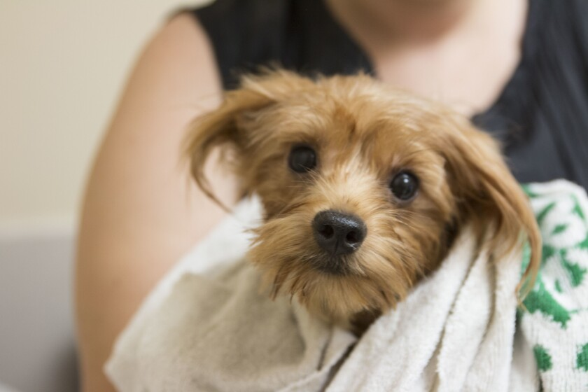 One of the 90 rescued Yorkies up for adoption at the San Diego Humane Society.