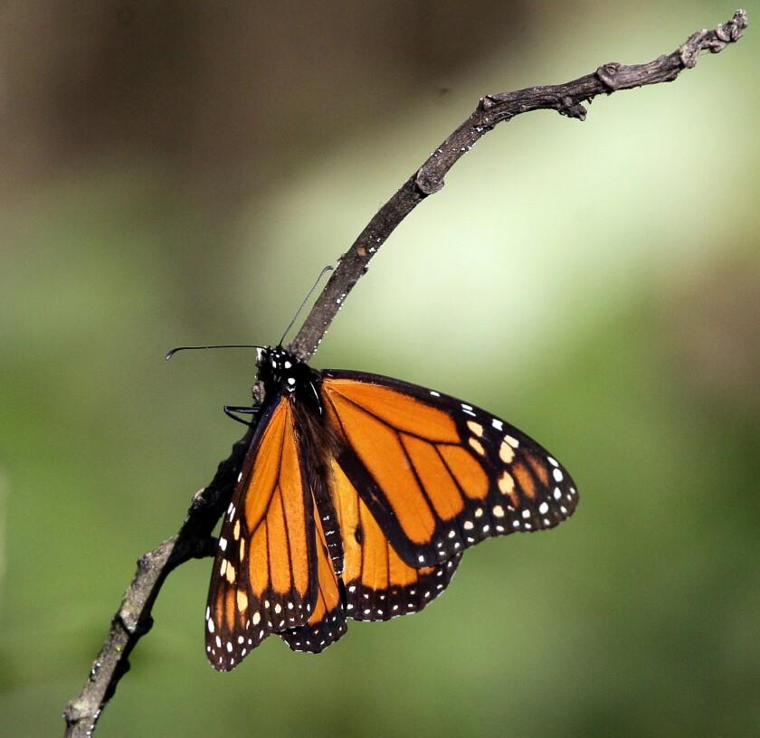 Fotografia que muestra un ejemplar de mariposa Monarca en su santuario de la población de Angangeo, México al oriente de Michoacan en donde establece sus colonias a mediados de octubre y principio de noviembre.