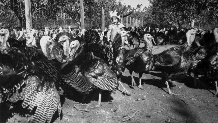 Nov. 20, 1953: Laura Grant, 6, plays with the turkey flock at Fred Huntsinger Ranch in Northridge. T