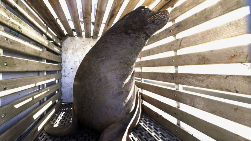 A sea lion that was trapped at a falls in the Willamette River in Oregon waits to be released into the Pacific in March. After relocating the mammals didn't work, Oregon wildlife officials have started killing sea lions that threaten a fragile run of winter steelhead.