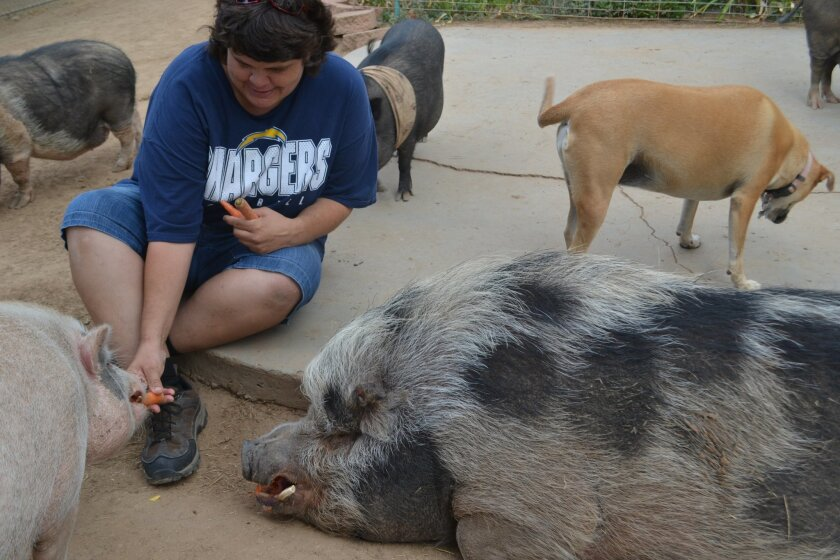Helper Debbie Gillaspy feeds carrots to Wilbur, left, and Puumba, a 350-pound potbellied pig.
