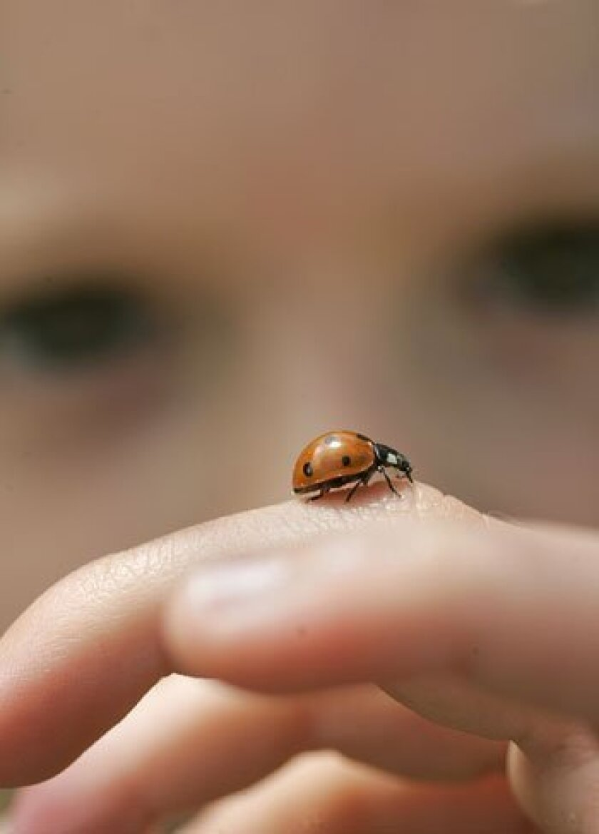 A ladybug crawled on 3-year-old Erin Jaramillo's finger as volunteers joined in the Ladybug Day hunt, part of a Cornell University science project.
