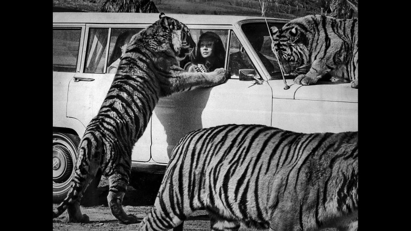 Bettie Kym Young of Newport gets a closeup of a tiger. Young, Miss Los Angeles Chinatown, was at Lion Country Safari to celebrate the Chinese Year of the Tiger in January 1974.