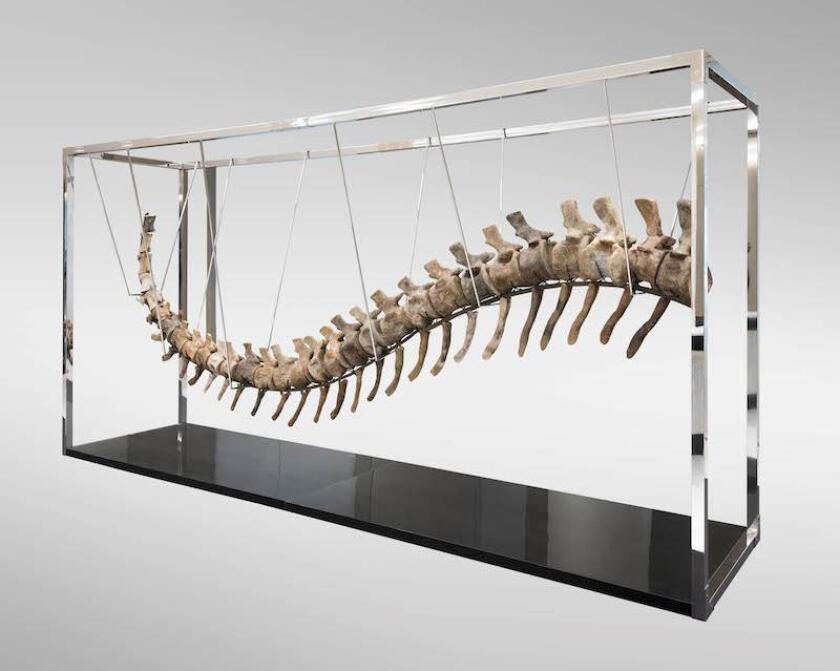 Fotografía sin fecha cedida por Casa Morton el pasado 17 de enero de 2018, que muestra una cola de dinosaurio (Atlasaurus), la cual fue vendida en Ciudad de México (México). EFE