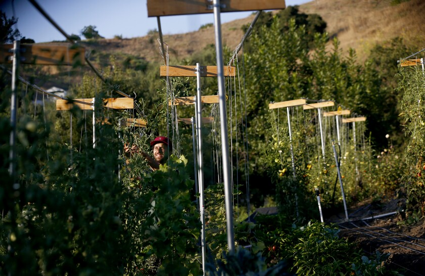 Eric Tomassini trellises tomato plants on the steep acre that holds Avenue 33 Farm, the urban farm he and his wife, Ali Greer, tend behind their Lincoln Heights home.